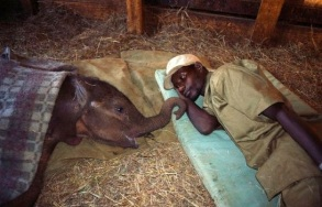 Zoo keeper comforts baby elephant