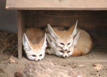 Desert fox sandwhich