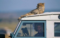 This cheetah's taking a rest on the jeep