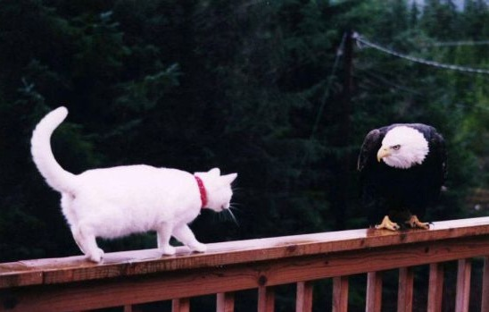 A cat and an eagle duke it out