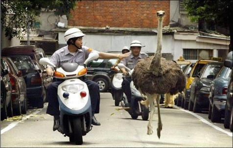 Policemen chasing an ostrich