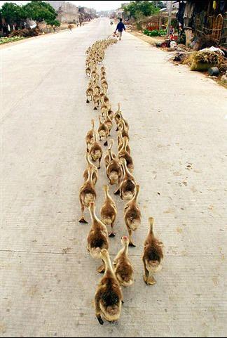 A really long row of ducks