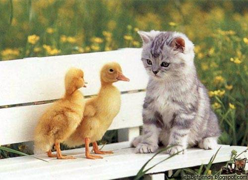 A kitten and two ducks exchange ideas