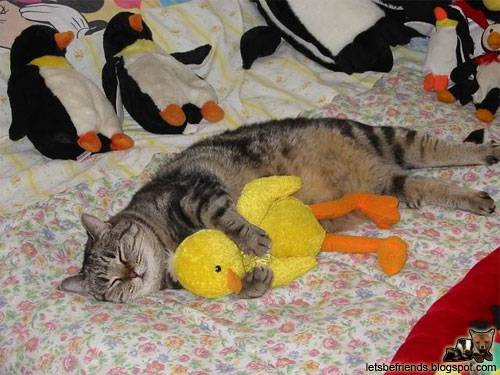 A kitten and her duckling sleep together