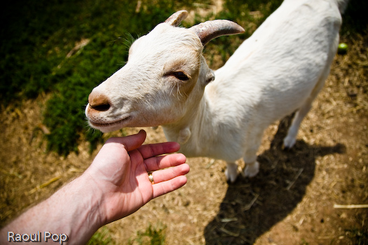 Goaty