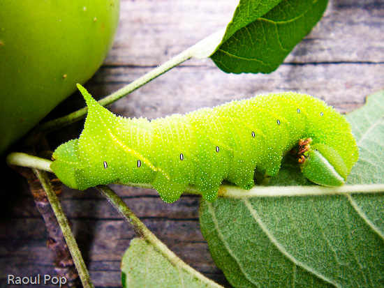 Eyed hawk moth larva