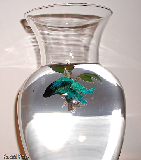 Betta fish swimming