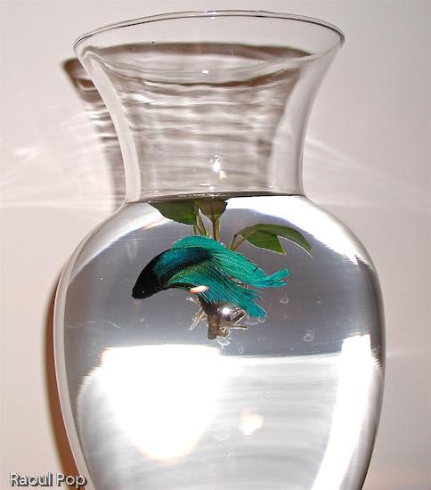 Betta fish swimming