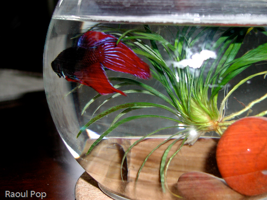 Betta fish with flared fins