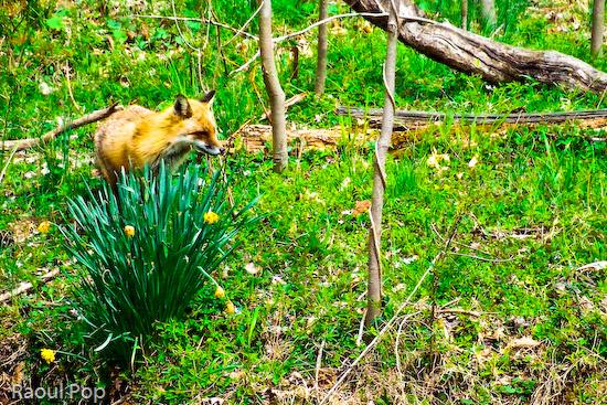 Fox in spring
