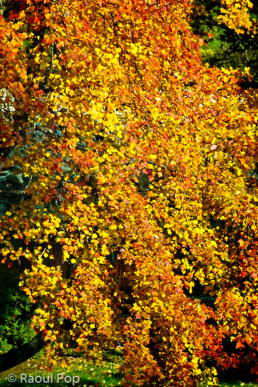 Golden fall foliage
