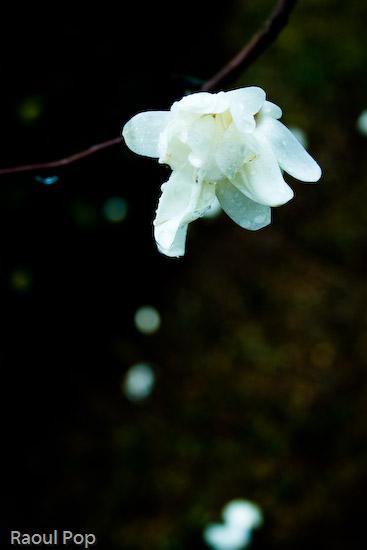 Magnolia in early spring rain