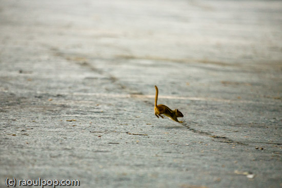 Leap year for Mr. Chipmunk