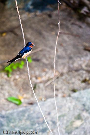Beautiful swallow
