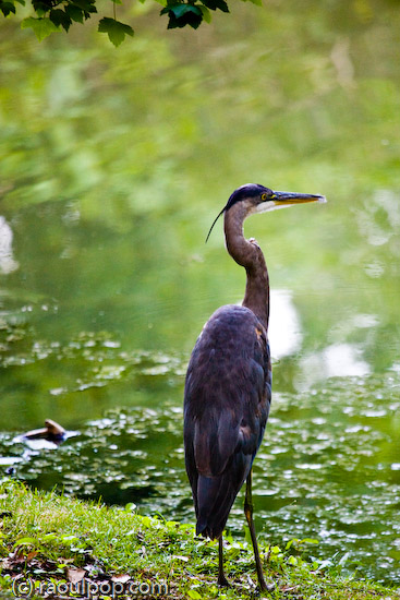 Heron at Grosvenor Lake