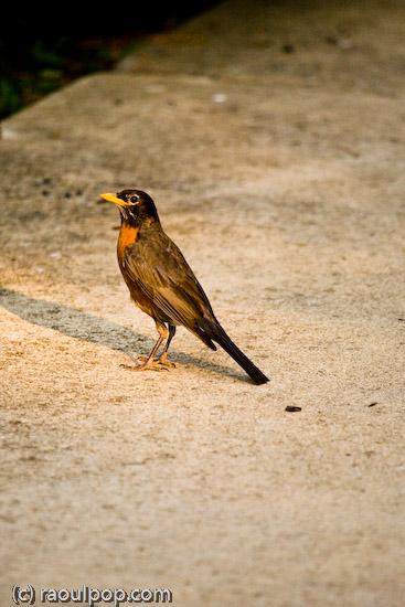 The robin examines me