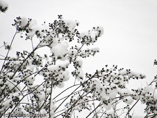 Branches covered in snow