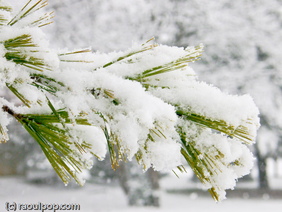 Evergreen branch covered with snow