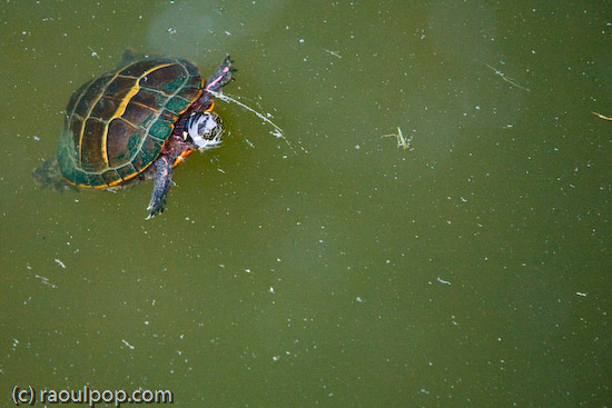 Mr. Turtle comes up for air