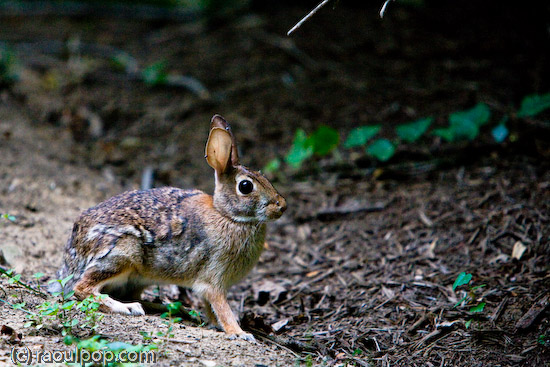 Harried hare