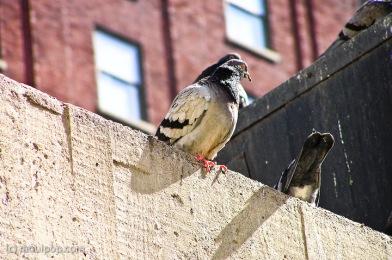 Pigeon stare