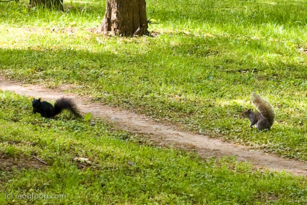 A black squirrel and grey squirrel fight for food