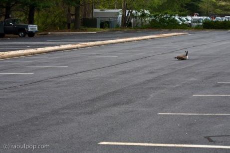 Parking lot goose