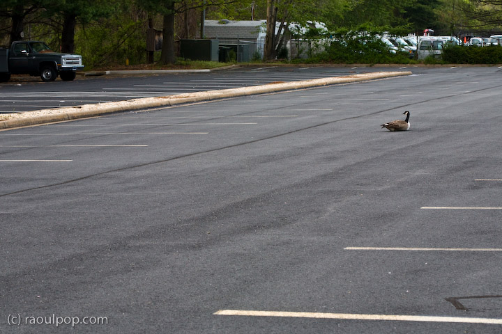 Parking lot goose