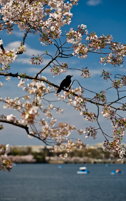 A blackbird rests on a branch in bloom. Taken in Washington, DC, USA, during the 2008 Cherry Blossom Festival.