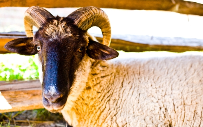 A ram gives the photographer an inquisitive look as he is photographed inside one of the sheep sheds at Mount Vernon.
