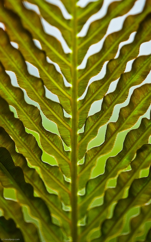 The texture of a fern leaf, as seen from below. Taken at the United States Botanic Garden in Washington, DC.