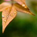 leaf-droplets