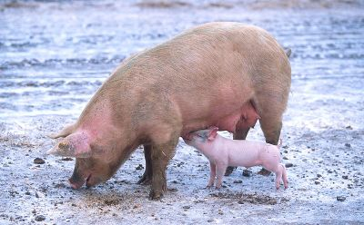 sow-with-piglet