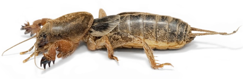 mole-cricket