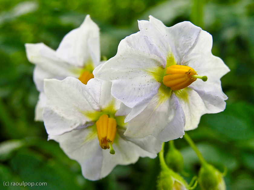 Potato Plants F...
