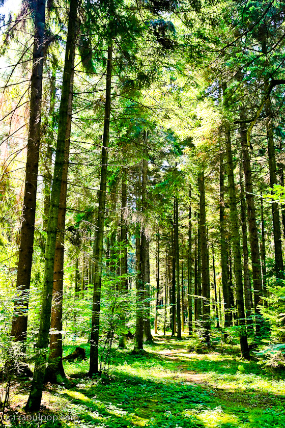 Walking in a conifer forest
