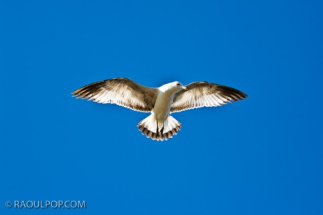 A seagull flies overhead, at the Statue of Liberty, New York, USA.