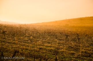 Morning fog in hilltop vineyard