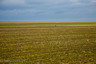 Solitary tree in wheat field