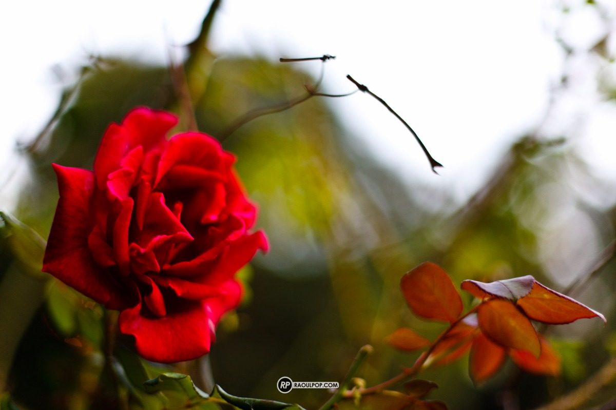 Wild rose blossom, a full red, lovely bokeh.
