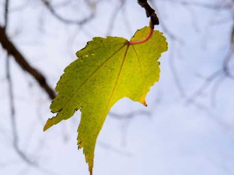 A stray leaf hangs on in autumn, CMC, Washington, DC, USA.