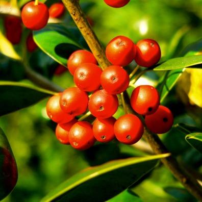 Round red berries, Grosvenor, North Bethesda, MD, USA.