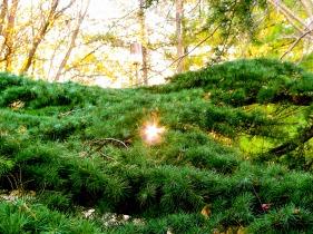 Sunlight through evergreen branches