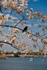 Blackbird sakura