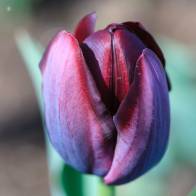 Purple tulip