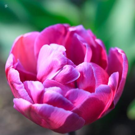 Mauve tulip