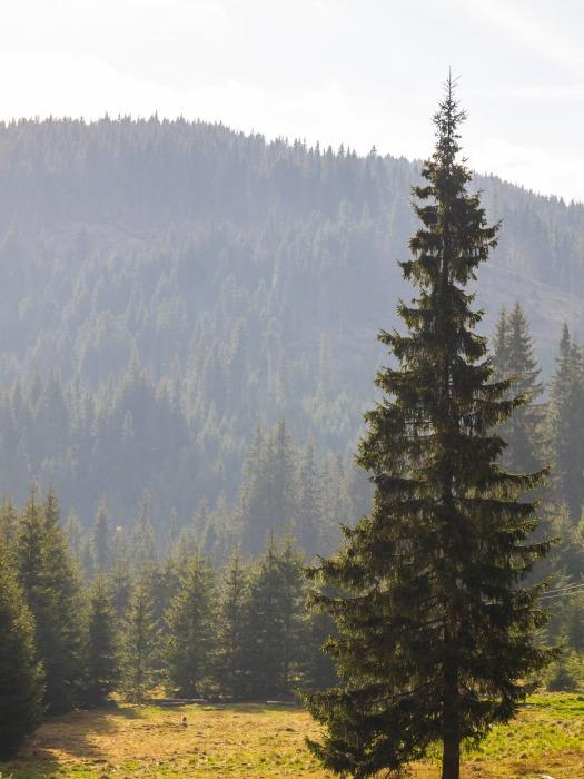 An evergreen