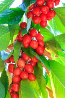 Ripening cherries