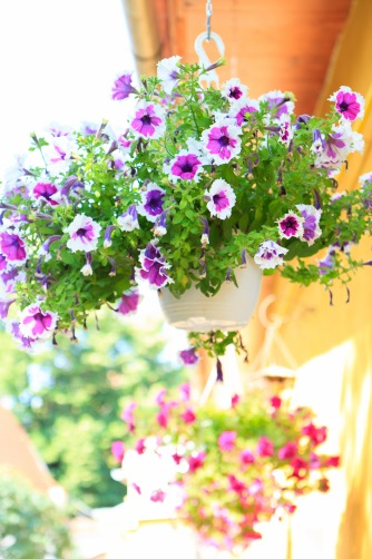 Purple-heart petunias