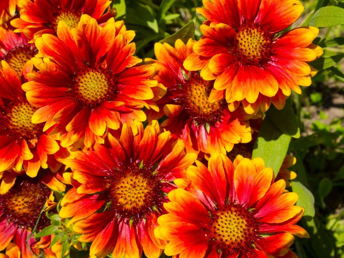 Orange-red flowers